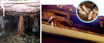 Cupim em Caixão Perdido - Cupim de Madeira Seca